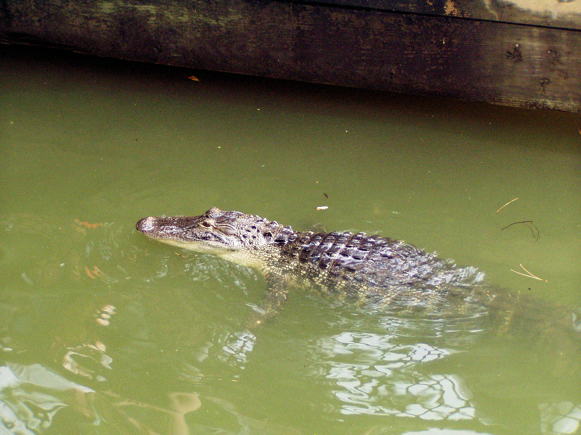An alligator in the Rivers of America in The Magic Kingdom at Disney World.